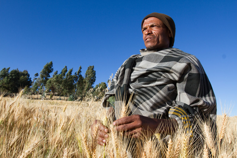 A farmer in the community seed multiplication site in Michel Debre, Ethiopia