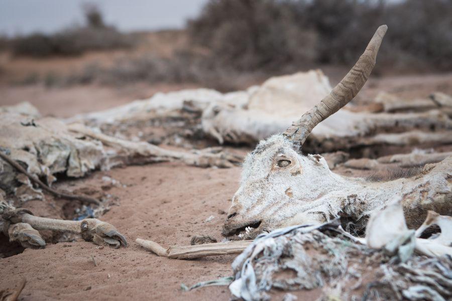 Muchas ovejas y cabras han muerto en Somalilandia debido a la sequía constante.