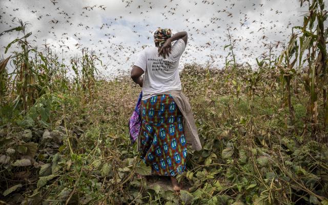 A farmer trying to chase locusts away in Katitika village, Kitui county, Kenya