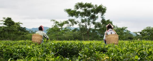 Women plucking tea leaves in Assam, India.