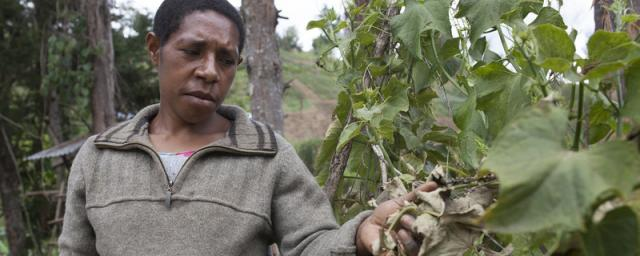 A woman crumbles her drought effected aupua plant leaves, Papua New Guinea