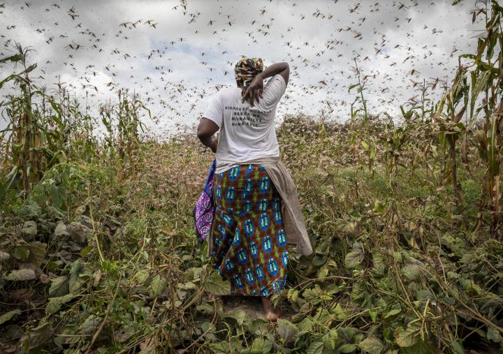 A farmer trying to chase locusts away in Katitika village, Kitui county, Kenya