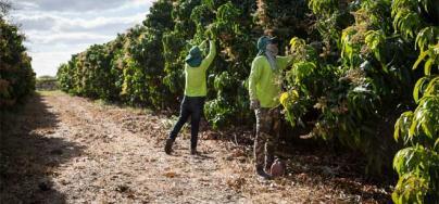 Fruit company workers on a mango plantation. Photo: Tatiana Cardeal/Oxfam