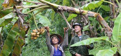 Banana farmers, Thanh Van hamlet, Mai Lap commune, Cho Moi district, Bac Kan province, Vietnam