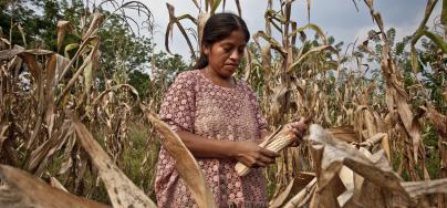 Carlota Xol, from the Caxlampom community, Guatemala, harvesting corn.