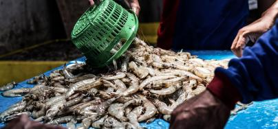 Shrimp at an auction site in Indonesia. Photo: Adrian Mulya/The Sustainable Seafood Alliance Indonesia