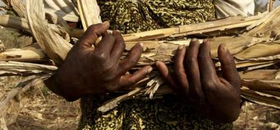 Hands of a farmer, holding corn