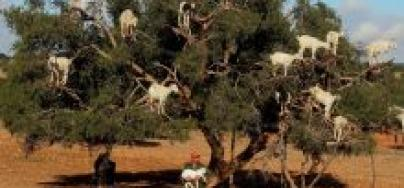 Pâturage de chèvres au Maroc © Szvizi/Dreamstime.com