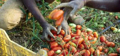 Cerignola (Foggia, Apulia region, Southern Italy), African immigrants working in the tomato fields ©Dino Fracchia/Alamy Stock Photo