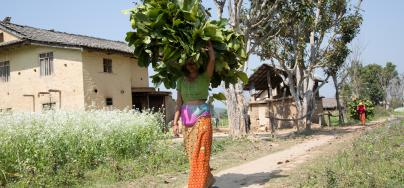 Ganga Poudel, a member of the Pavrita Co-operative, carries foilage cut from a tree nearby her home to feed livestock. Photo credit: Aubrey Wade