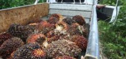 Palm oil fruit, PT Adei plantation, Riau province, Sumatra, Indonesia (2014). Photo: Des Syafrizal/ Oxfam